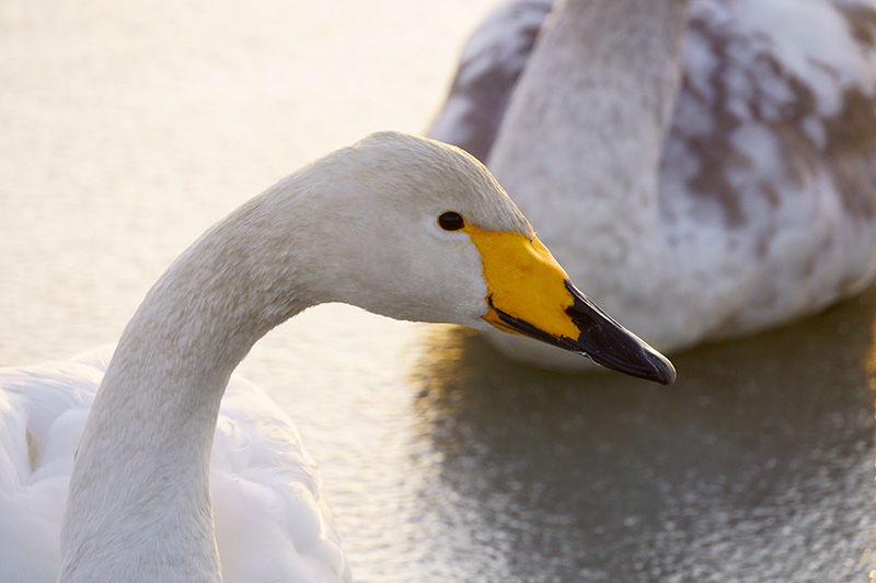 白鳥の顔アップ