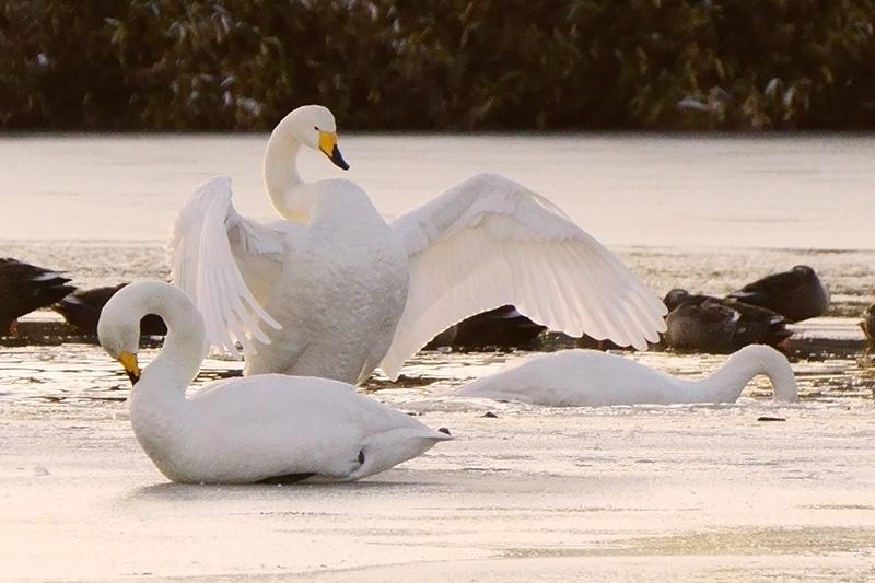 白鳥・目覚めの羽ばたき