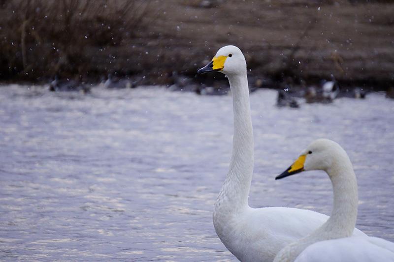 首を伸ばす白鳥
