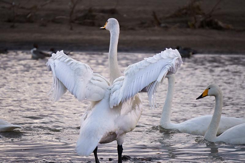 羽を広げる白鳥