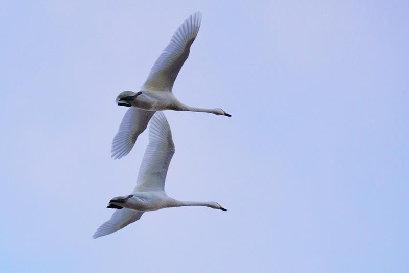 白鳥,翔ぶ