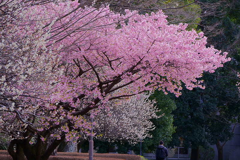 河津桜と白梅