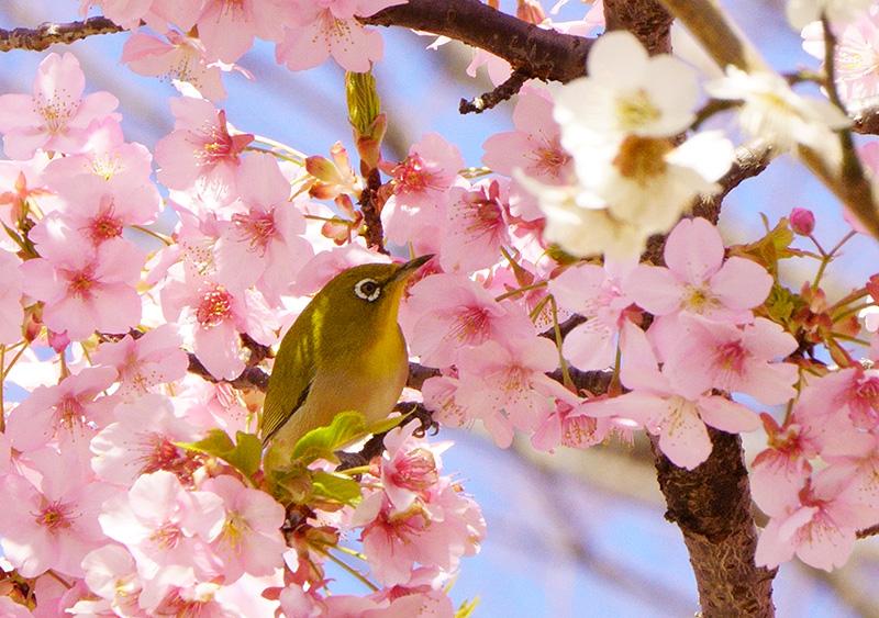 河津桜にメジロは妖精みたい