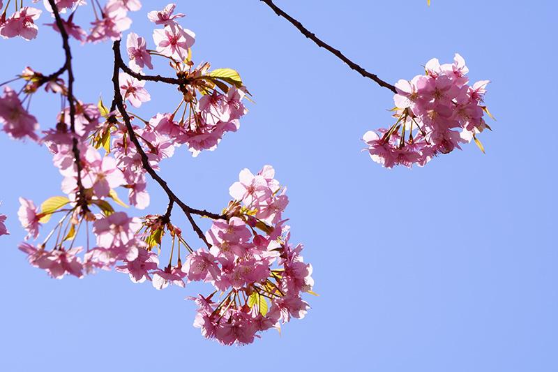 陽光に映える河津桜