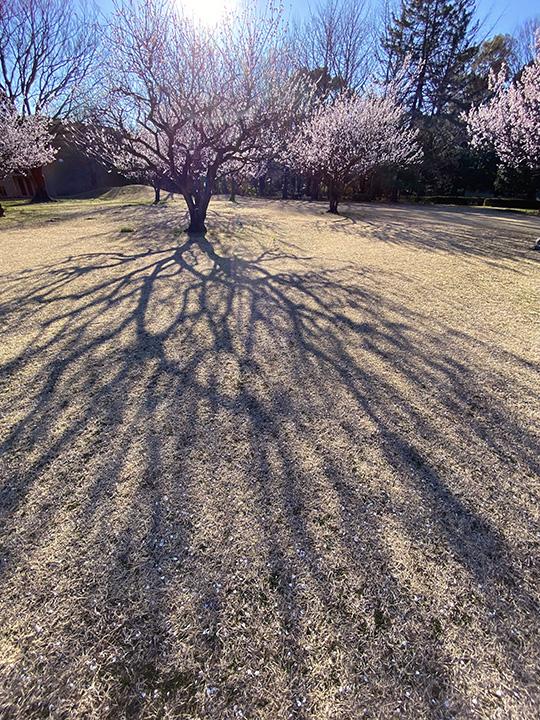 梅の木の影