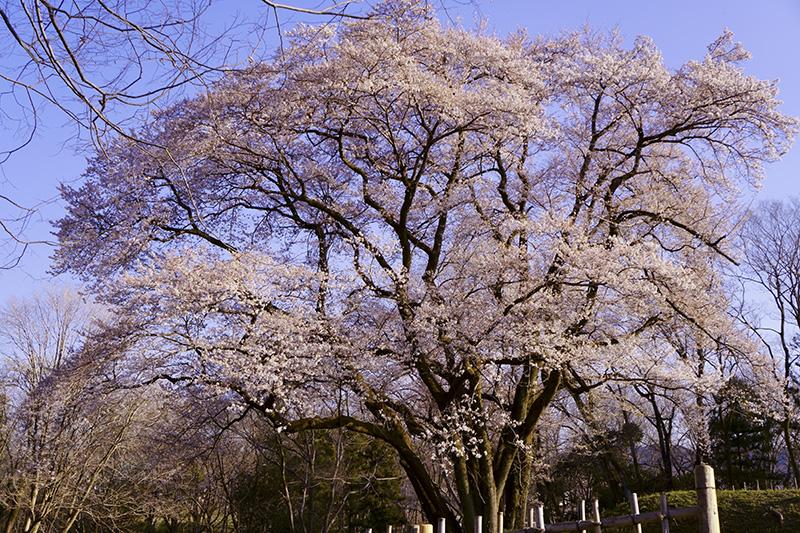見納め氏邦桜