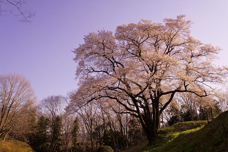 夕日を浴びる氏邦桜