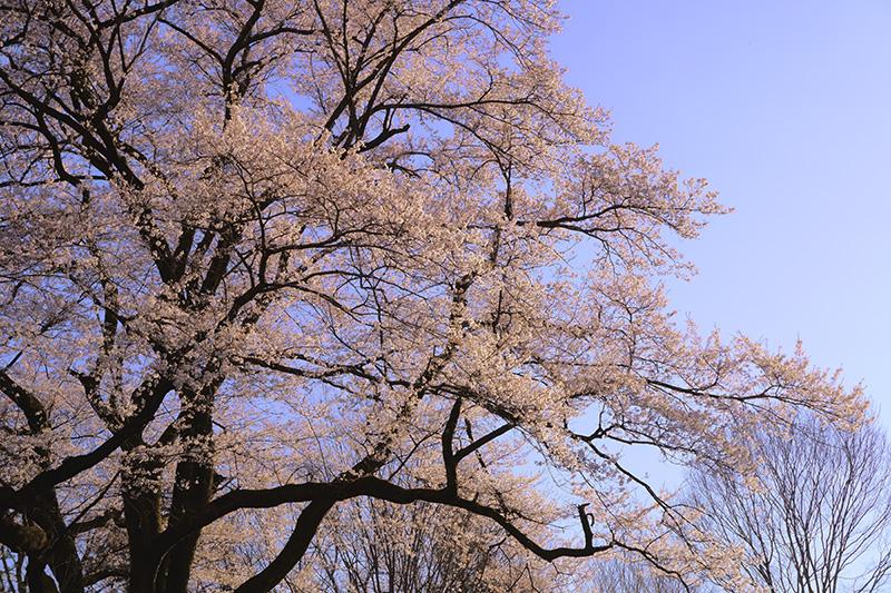 振り返れば氏邦桜