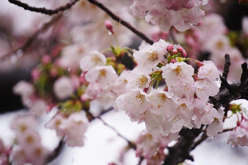 桜の房と雪