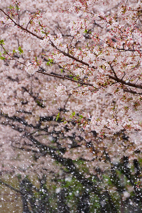 桜並木に雪