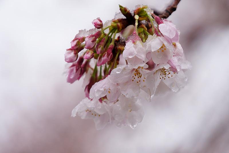 桜に雪が積もる