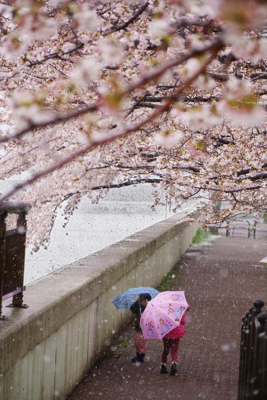 桜並木と傘の花