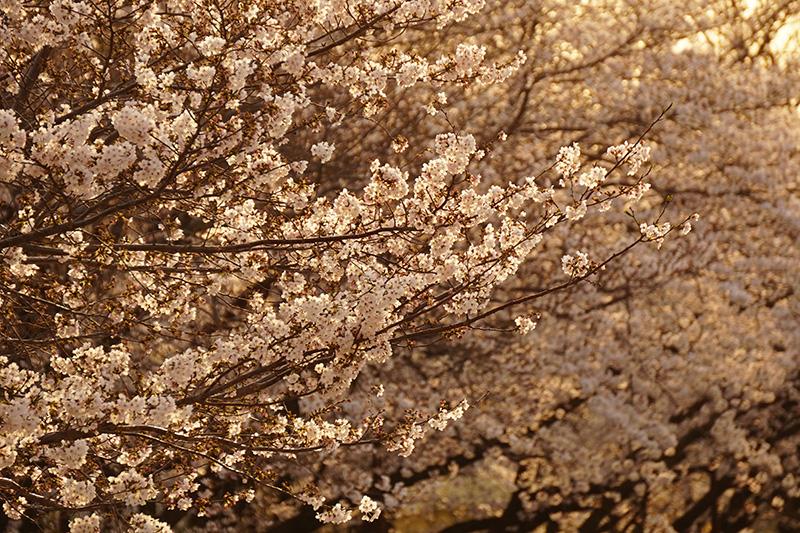 夕陽に輝く桜