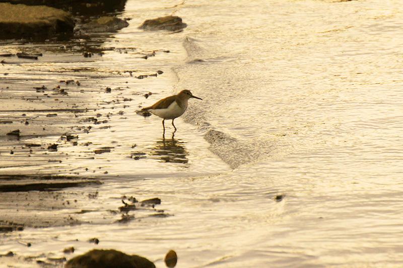 波打ち際のイソシギ