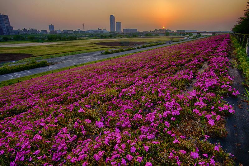 芝桜の土手と日の出