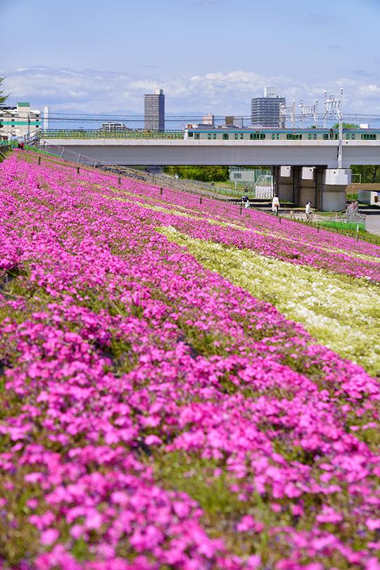 芝桜と電車