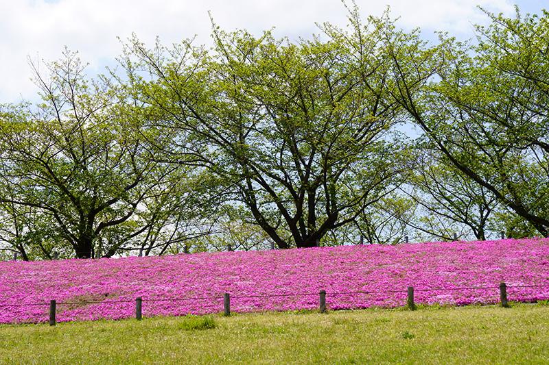 芝桜と桜並木
