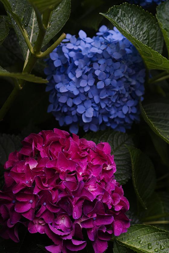 赤青紫陽花
