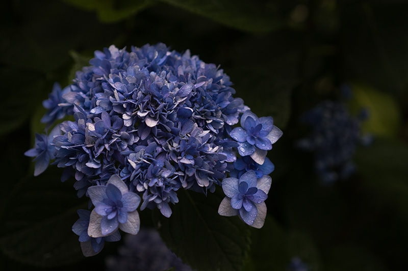 八重咲きの青い紫陽花