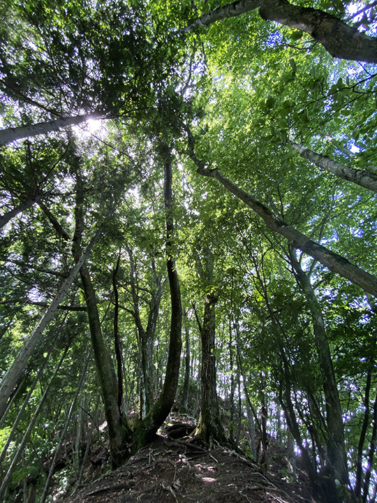 ヌカザス尾根は緑のトンネル