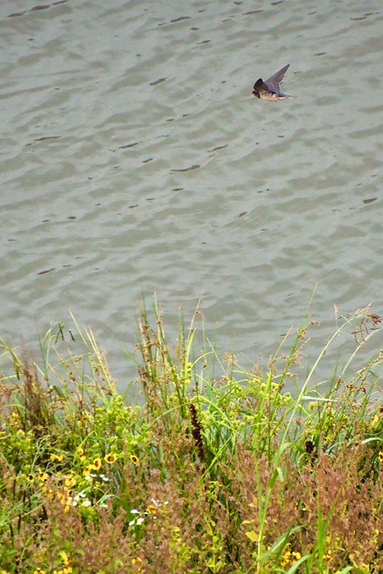 川の上を飛ぶツバメ