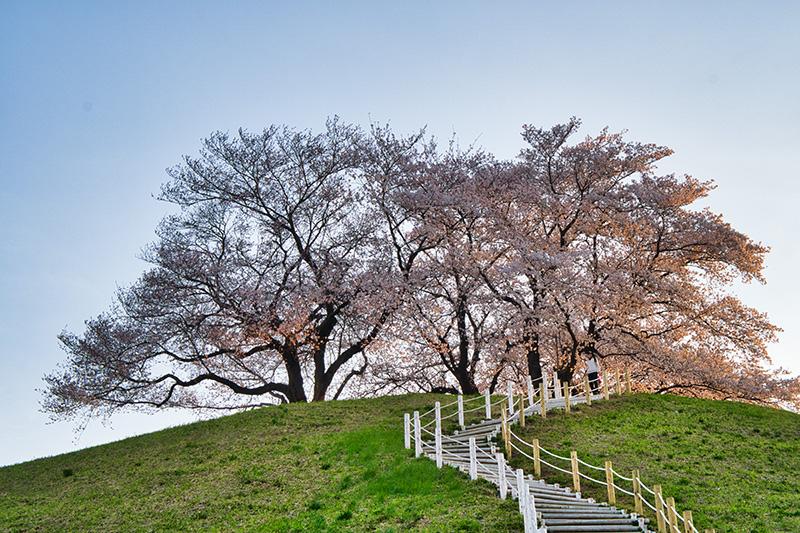 古墳の丘に咲く桜