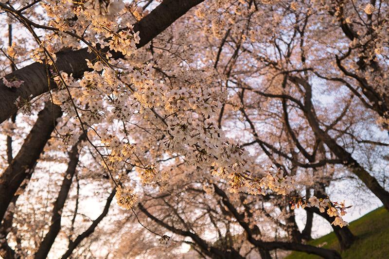 古墳斜面の桜