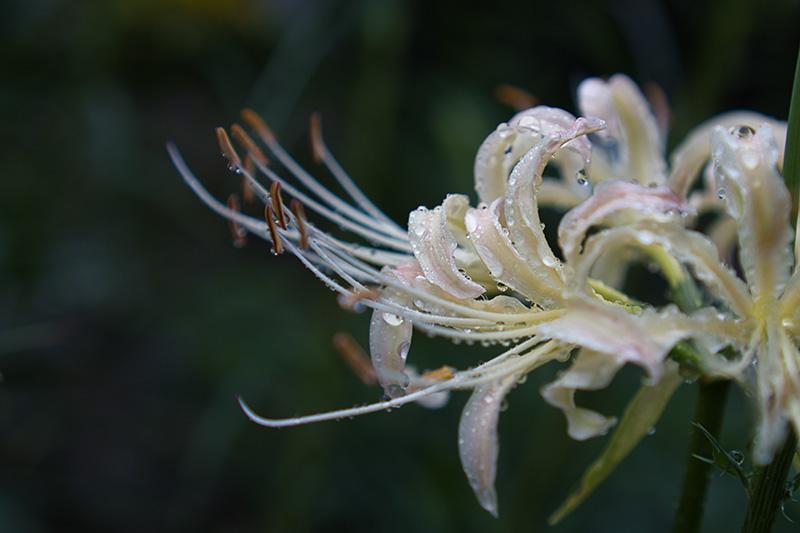 雨の雫を宿す白い花