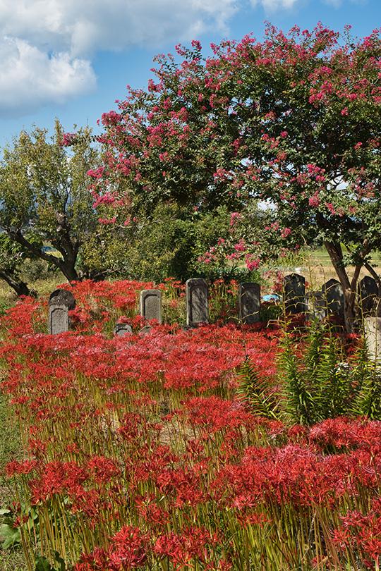 百日紅と彼岸花