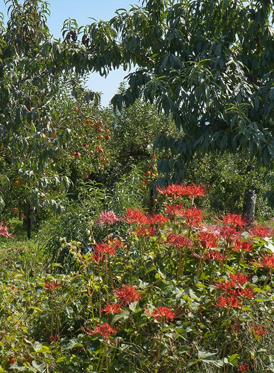 りんご畑と彼岸花