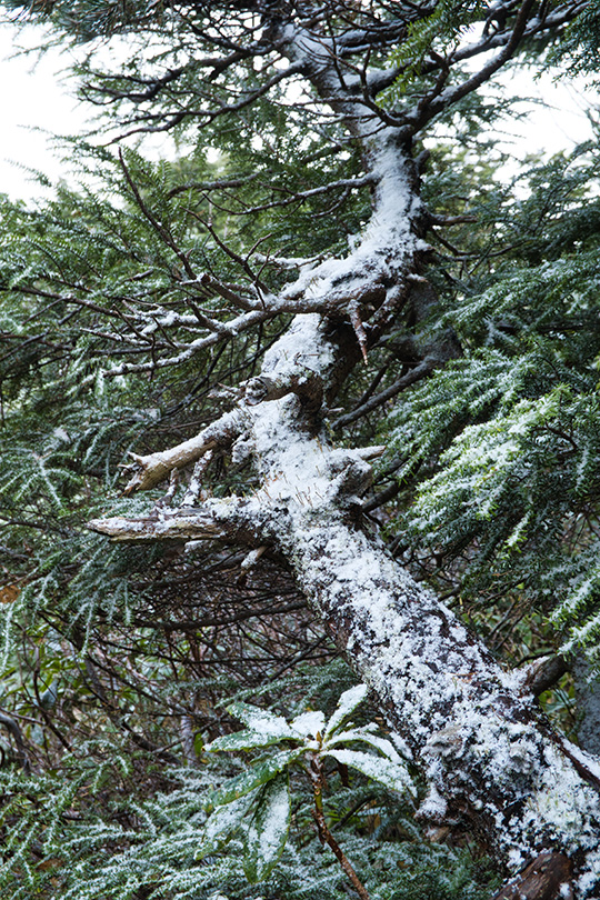 松の木に雪