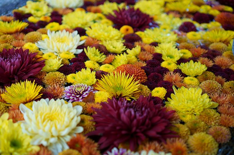 手水に浮かぶ菊の花