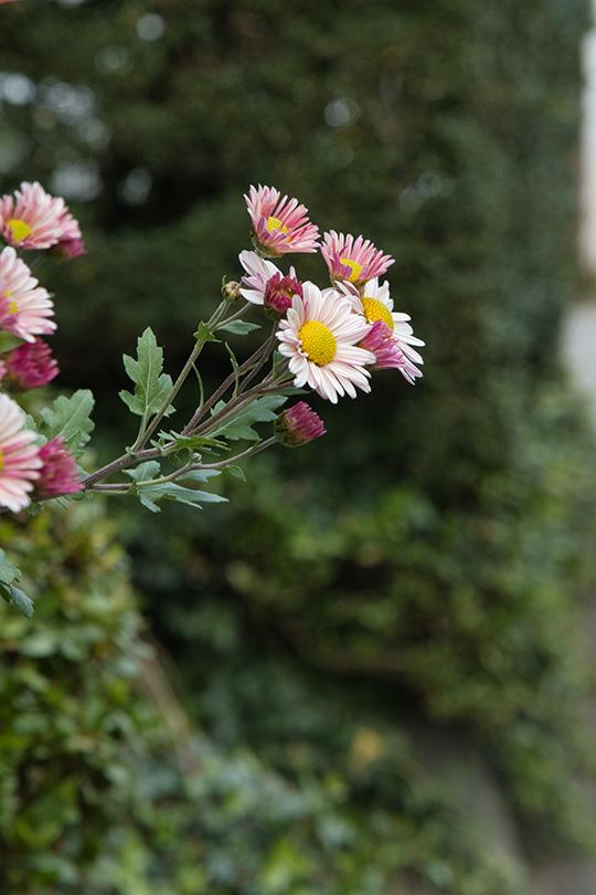 道端にも菊の花
