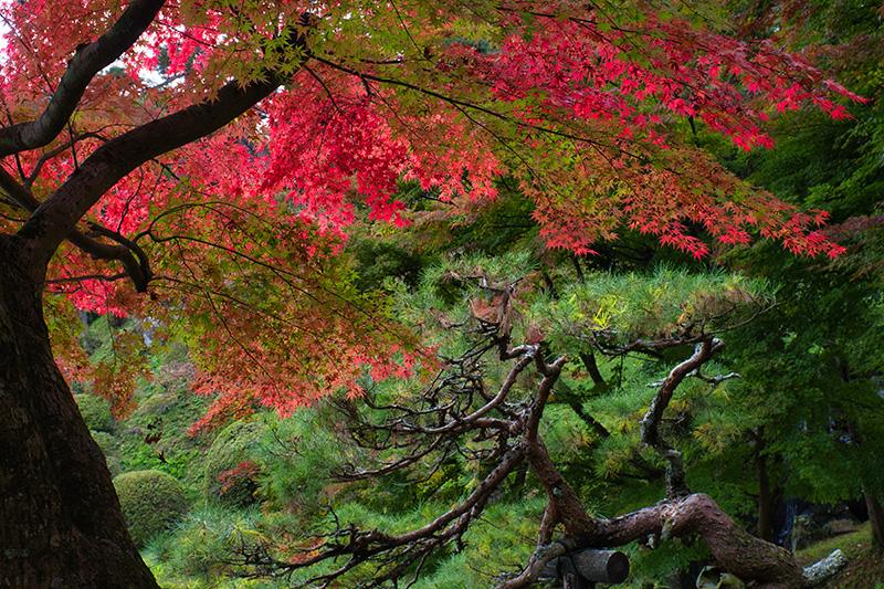 松の木ともみじ
