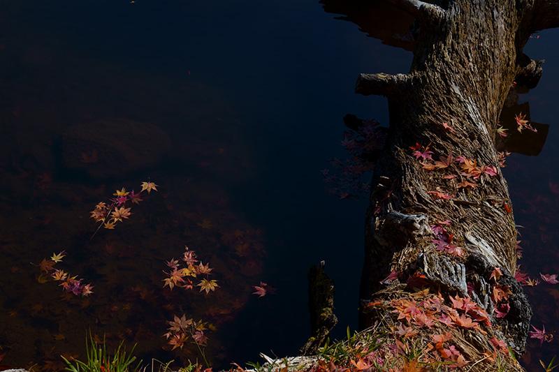 池に沈む木の幹ともみじ