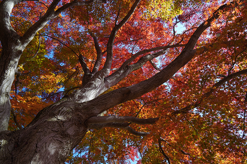 きれいな紅葉を見てきました