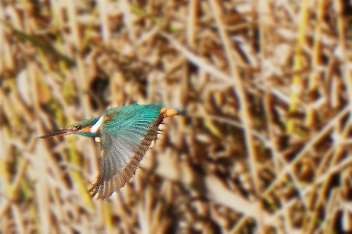 飛ぶカワセミ