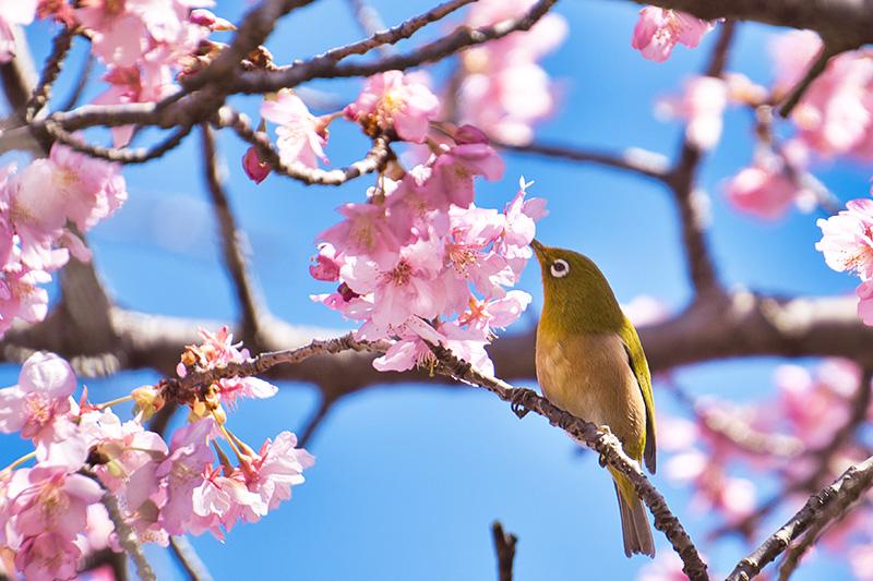 メジロのお腹に桜の色