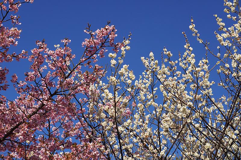 白梅と河津桜