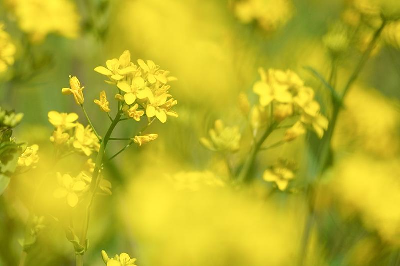 野川の菜の花