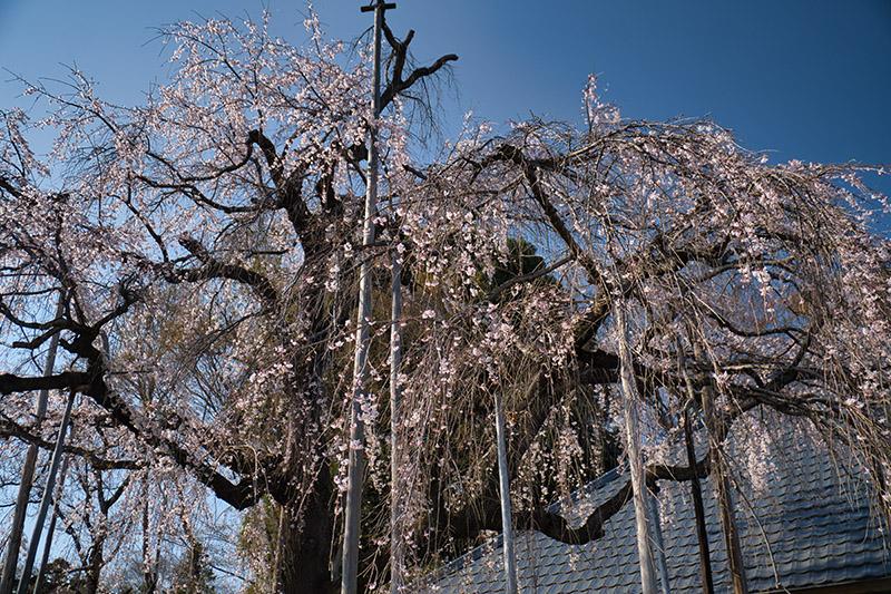 枝垂れ桜を見上げる