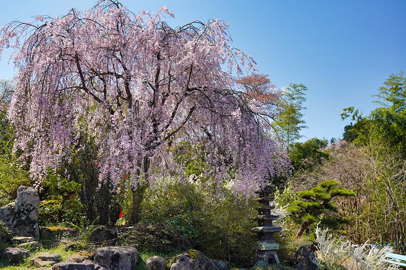花見山入口のしだれ桜