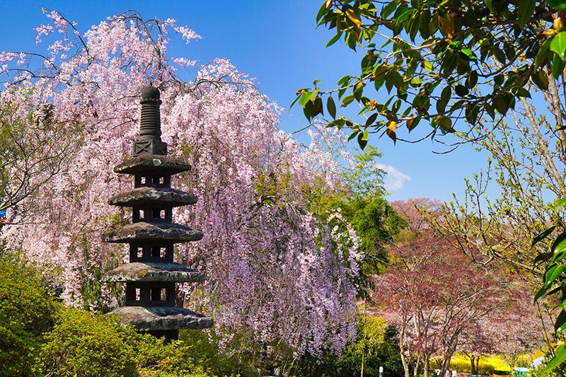 塔としだれ桜