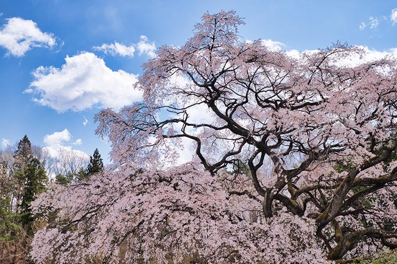 芳水の桜の枝ぶり