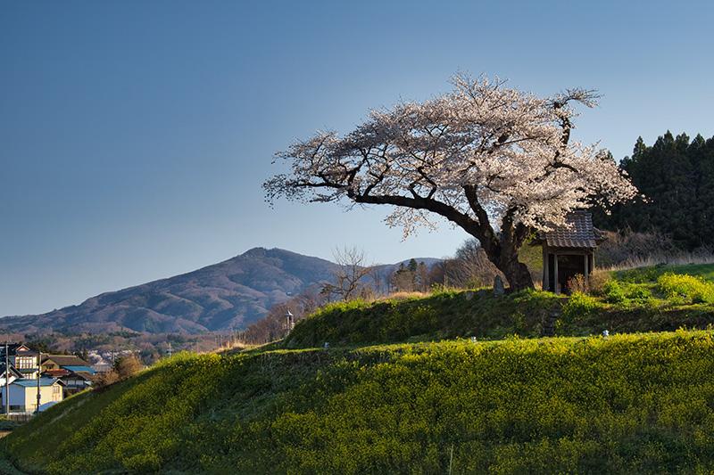 小沢の桜・朝