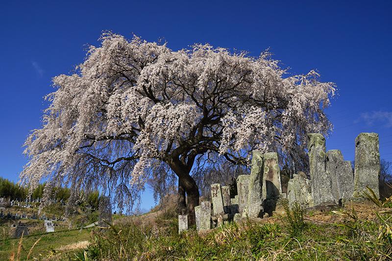 小沢・宮のしだれ桜
