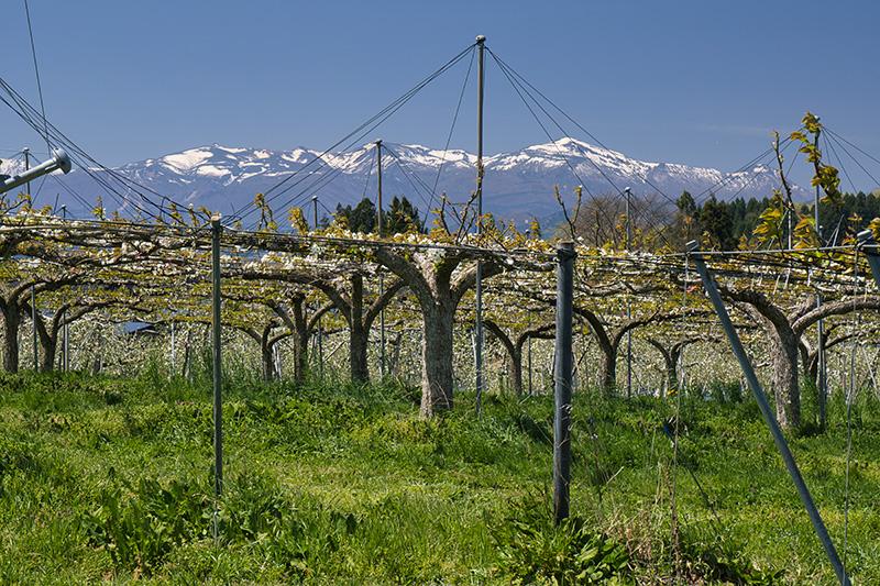 リンゴ畑と安達太良山