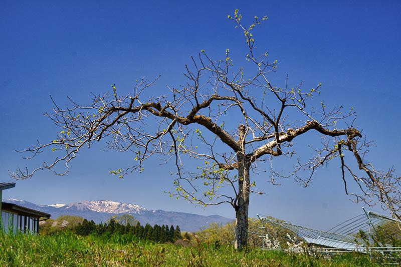 リンゴの木と吾妻連峰