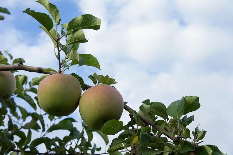 紫波のリンゴ