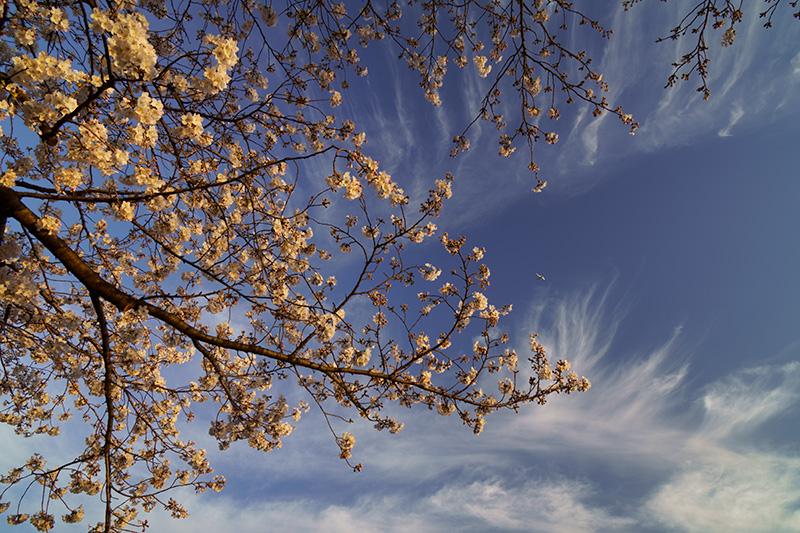 朝日を浴びる桜と筋雲